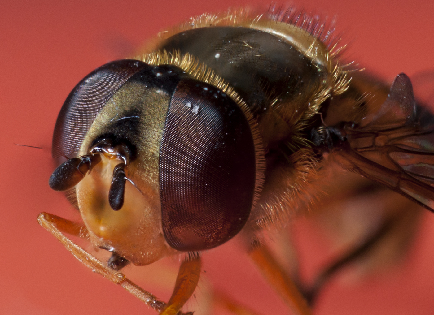 Focus Stack of Fly