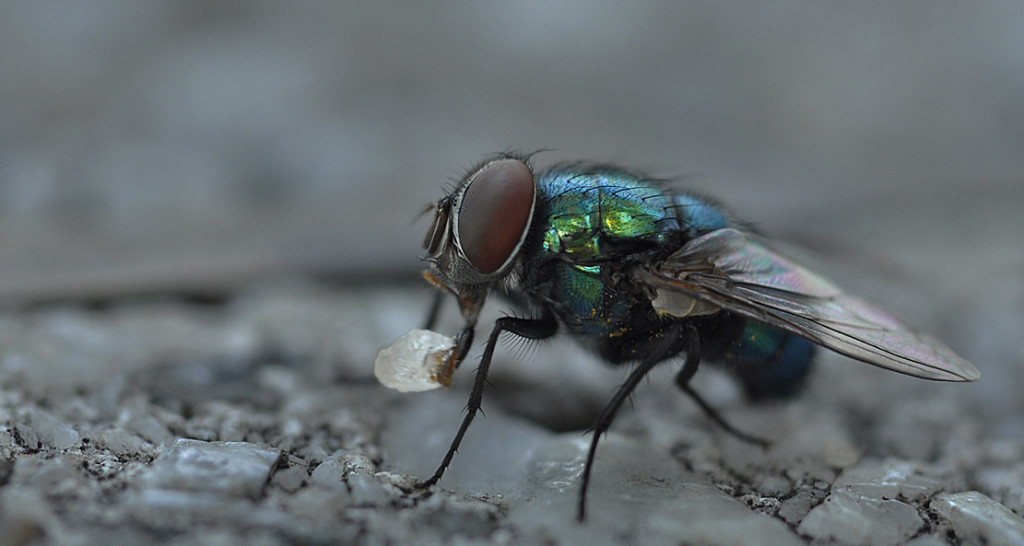 Fly Eating Sugar