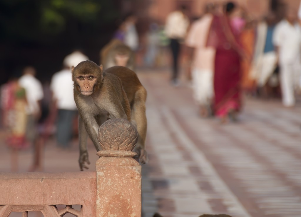 Monkey at Taj