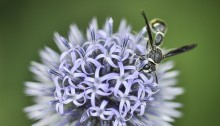 Wasp on Blue Allium